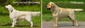 golden retriver labrador
